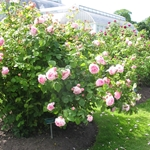 Rosa 'Constance Spry'