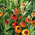 Helenium autumnale 'Sahin´s Early Flowering'