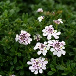 Iberis sempervirens 'Pink Ice'