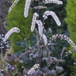 Actaea ramosa 'Queen of Sheba'