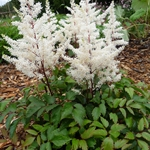 Astilbe arendsii 'Rock and Roll'