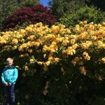 Rhododendron 'Golden Sunset'